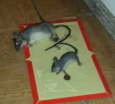 Are Mice Blind How To Get Rid Of Mice In Your Home Mouse Control