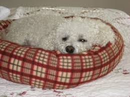 bichon frise years bichon frise pictures videos and information
