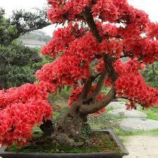 2018 japanese cherry blossoms seeds courtyard garden bonsai