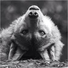black and white wolf image 519950 on favim com