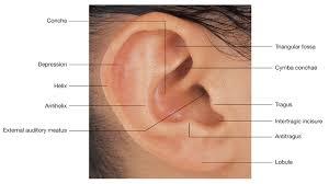 ear anatomy external gallery learn human anatomy image