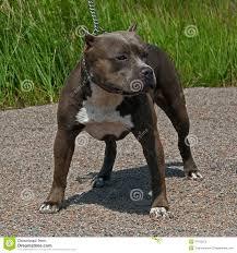 american pitbull terrier merchandise american pitbull terrier male stock photo image 47152672