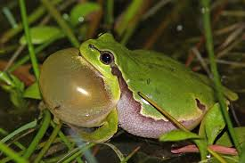 how do frogs make sound and hear it the infinite spider