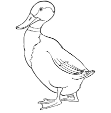 drawing mallard duck coloring pages color luna