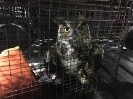 great horned owl rescued from fishing line by yarmouth dnr officer
