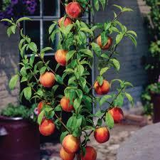 47 best dwarf fruit trees images on pinterest dwarf fruit trees