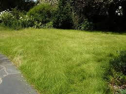 australian native ground cover plants native grass for lawn u0026 landscaping low maintenance u0026 drought