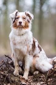triple h australian shepherds english springer spaniel u0026 australian shepherd google search