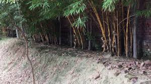 bamboo trees vs ficus tree or backyard boundary fencing u0026 hedge