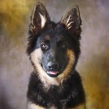 belgian shepherd victoria australia wolf shadow photography artwork for sale melbourne victoria