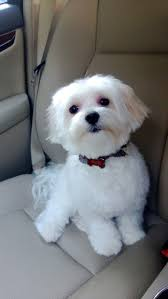 bichon frise puppy cut 795 best maltese and maltipoo mix images on pinterest animals