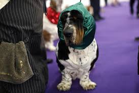 photos dogs being dogs at the westminster show pbs newshour