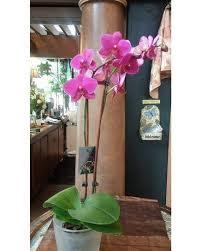 Flowers In Detroit - phaleonopsis orchid plant in detroit mi ashley u0027s flowers