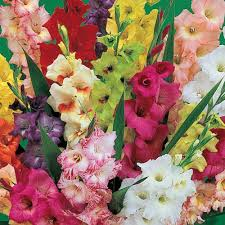 Summer Flowers For Garden - 135 best foxglove gladiolus images on pinterest flowers flower