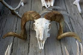 bighorn sheep skull wy foster foster travel publishing