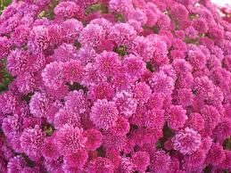 flower pink mums autumn flowers plant bush fall nature flower