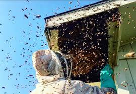 bee removal los angeles ca irescuebees