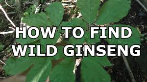 how to find wild ginseng youtube