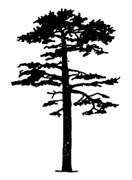 pine tree clipart tree pencil and in color pine tree