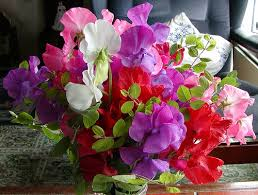sweet peas flowers flowers for flower sweet pea flowers