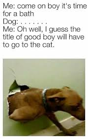 Dachshund Meme - i guess the title of good boy will have to go to the cat cat