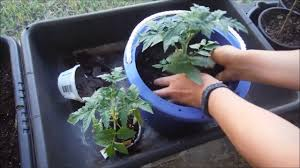 how to transplant tomatoes to self watering youtube