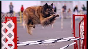 belgian shepherd dog club of canada tervuren belgian shepherd dog video learning wizscience com