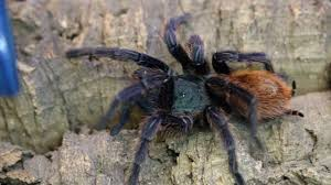 greenbottle blue chromatopelma cyaneopuscens care by the deadly
