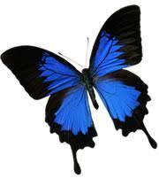 butterflies boast ultrablack wings nature