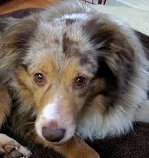 australian shepherd rescue california jazz mini australian shepherd for adoption holistic veterinary