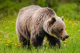 bear animal the canadian encyclopedia