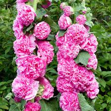 Hollyhock Flowers Alcea Or Hollyhock U2013 Start An Easy Backyard Garden Project With