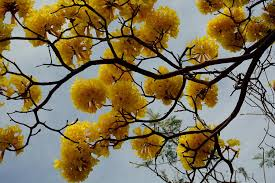 Yellow Flowering Trees - flower tree photograph by peggy lenahan