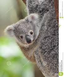 koala bear pictures kids search