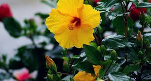 Which State Has A Hibiscus by Hawaii State Flower Hibiscus Proflowers Blog