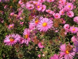 massachusetts native plants the sustainable enough garden