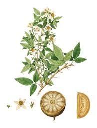 aegle marmelos bael tree golden apple bengal quince pfaf plant