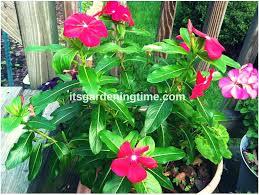 Vinca Flowers 4 Reasons To Grow Big Vinca Flowers It U0027s Gardening Time