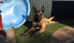 belgian shepherd dog rescue belgian shepherd dogs for adoption and rescue
