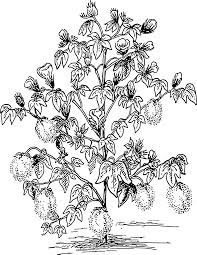 cotton plant drawing free download clip art free clip art on