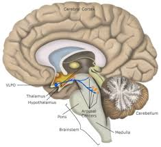 Thalamus Part Of The Brain Sleep How Sleep Works Neurological Mechanisms Of Sleep