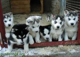 puppies indiana siberian husky puppies for sale in indianapolis indiana gun