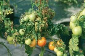 Viroid Diseases In Plants - fera plant pest factsheet emerging viroid threats to uk tomato