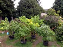 stealth ideas for growing marijuana in your yard or outside grow