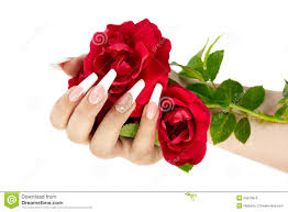 hand french manicure holding red rose flower stock images 48 photos