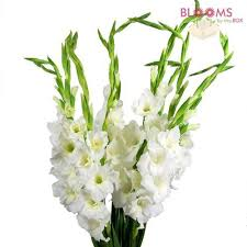 gladiolus flowers wholesale gladiolus gladiolus flowers for weddings
