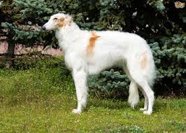 afghan hound good and bad afghan hound or borzoi which is best for you pets4homes