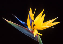 birds of paradise flower strelitzia