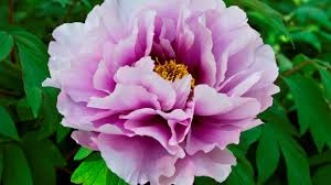 Peony Flowers by Peony Flowers Symbol Of Romance And Prosperity Youtube