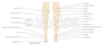 anatomy of lower extremity